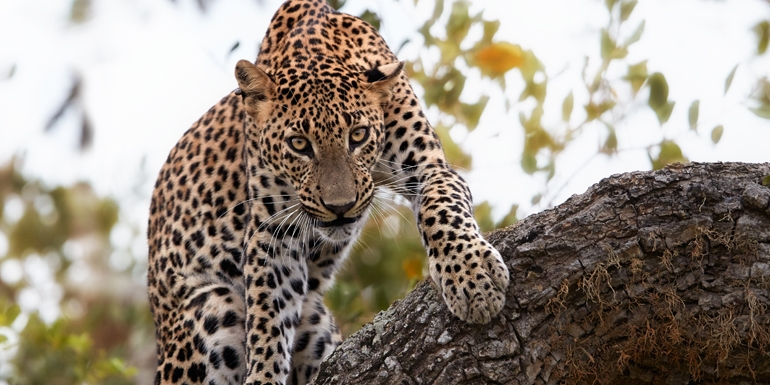 Feeling Wild in Sri Lanka… leopards are among the highlights of the Active Asia itinerary