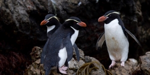 The Subantarctic Islands of Australia and New Zealand are often described as the Galapagos of the Southern Ocean