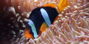 The centre will re-introduce clown fish to the environment